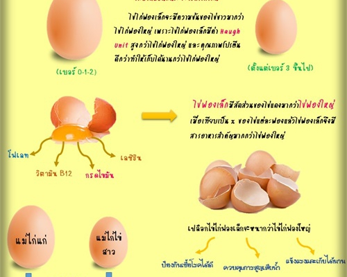 ไข่ไก่ฟองใหญ่ดีกว่าไข่ไก่ฟองเล็ก จริงหรือไม่?